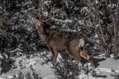 animal-nature-photography-snowy-grand-canyon-elk