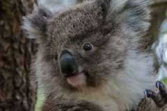 animal-wildlife-photography-baby-koala