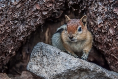 animal-wildlife-photography-chipmunk-yosemite-national-park-california