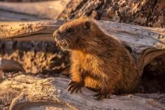 animal-wildlife-photography-marmot