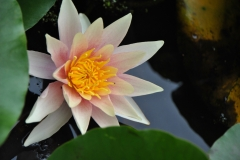 japanese-garden-flower-photography-water-lily-2